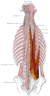 erector spinae muscle, action, muscle picture
