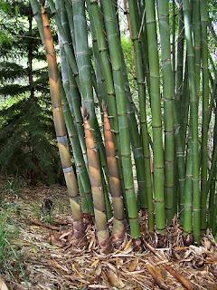 Dendrocalamus latiflorus - Bambu Chines