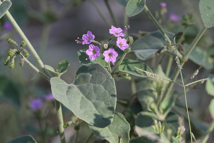 Commicarpus grandifloras