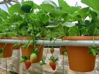 Daftar Macam-Macam Sayuran dan Buah Hidroponik
