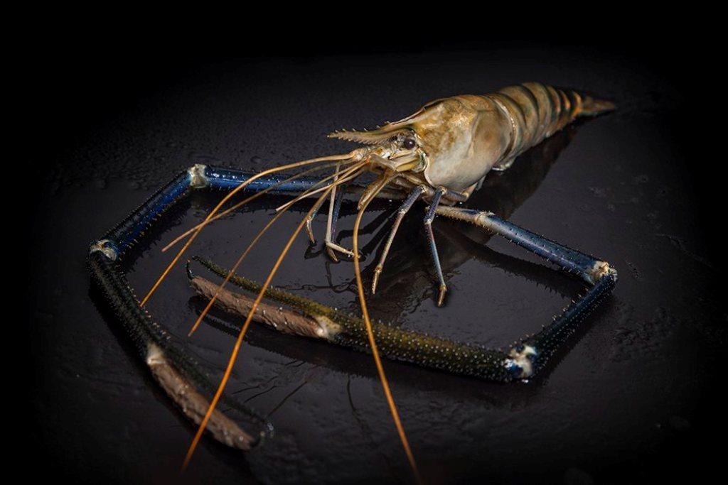Freshwater Shrimp Life Cycle the Natural Metamorphosis ...Freshwater Shrimp