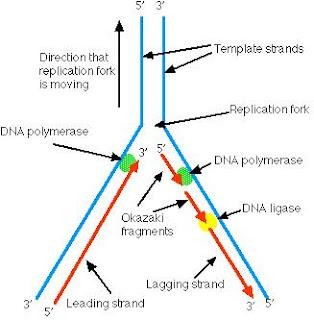 Lisosomas y peroxisomas yahoo dating
