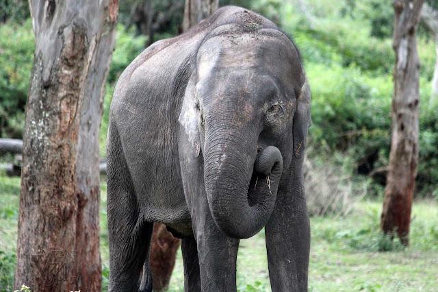 Elephant at Bandipur