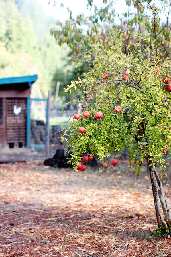 Pomegranate trees