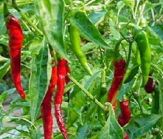 Rahasia membuat tanaman cabe berbuah lebat selebat-lebatnya