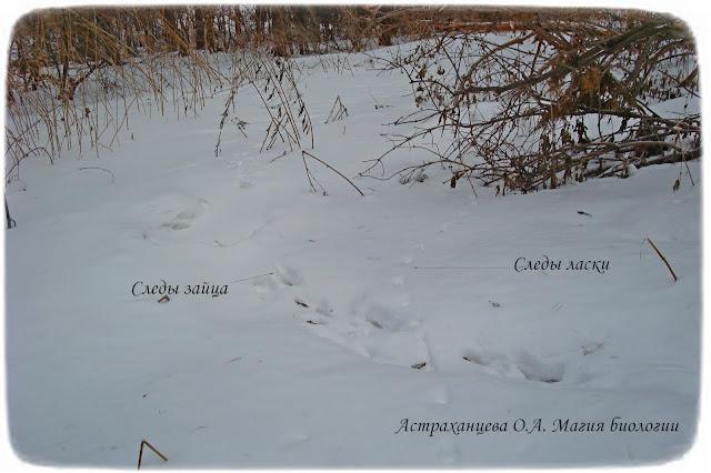 следы-зайца-ласки-на-снегу
