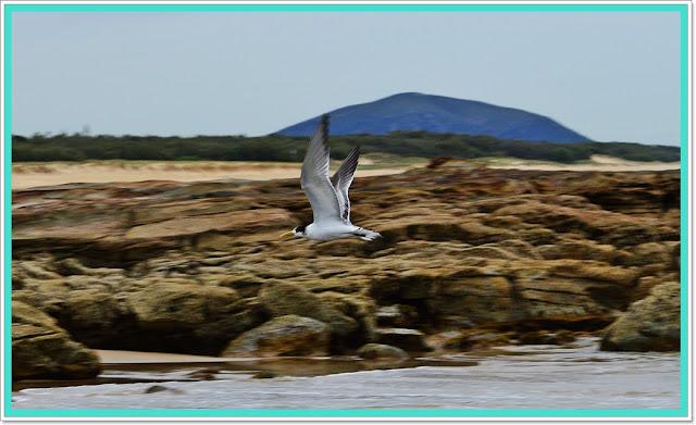 seabirds australia