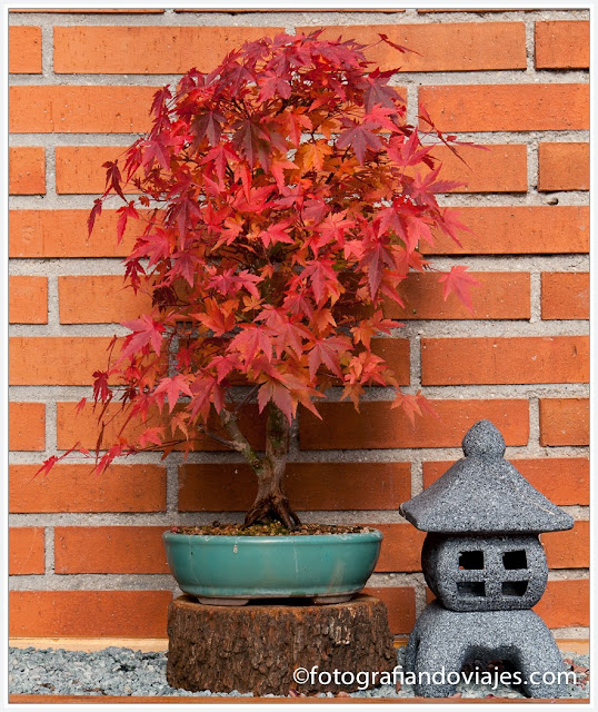 Bonsai de la especie Acer Yamamomiji