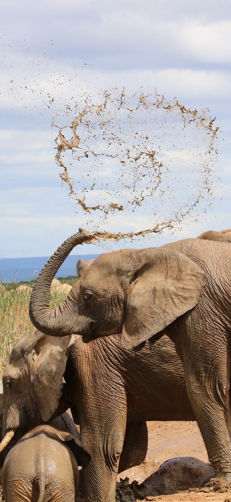 Picture of elephant water mud spray.