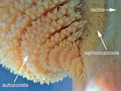 Various structures located on the leaf-like Sea Pen. Gastrozooids and sohponozooids are shown and labeled.