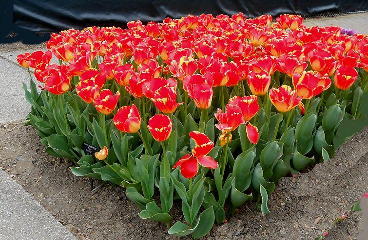 my virtual garden 2 tulips at longwood ii