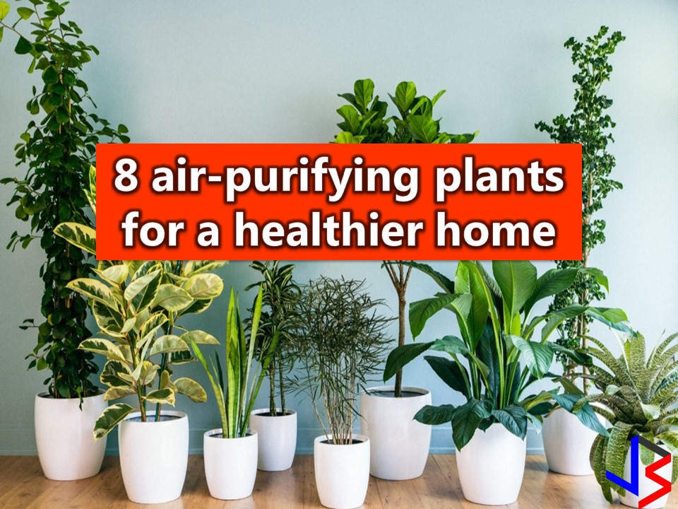Houseplants are not just indoor decoration, they make our environment more refreshing, calm, relaxed and welcoming. But aside from this, don't you know that having plants inside our home can purifier air that we breathe? Yes, it is especially for urban-dwellers where people spend much of their time indoors.  Our home is clean as we think, but there are toxic compounds around such as from furnishings, upholstery, building materials and cleaning products all contribute to making indoor air quality less clean.  There is indoor pollution too from pollen, bacteria, and molds.