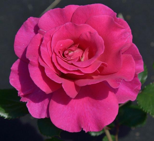 Princess Alexandra Renaissance роза фото сорт