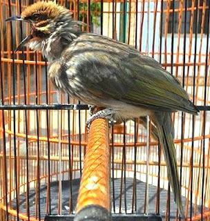 Burung Cucak Rowo - Makanan Yang Sesuai Untuk Burung Cucak Rowo - Penangkaran Burung Cucak Rowo