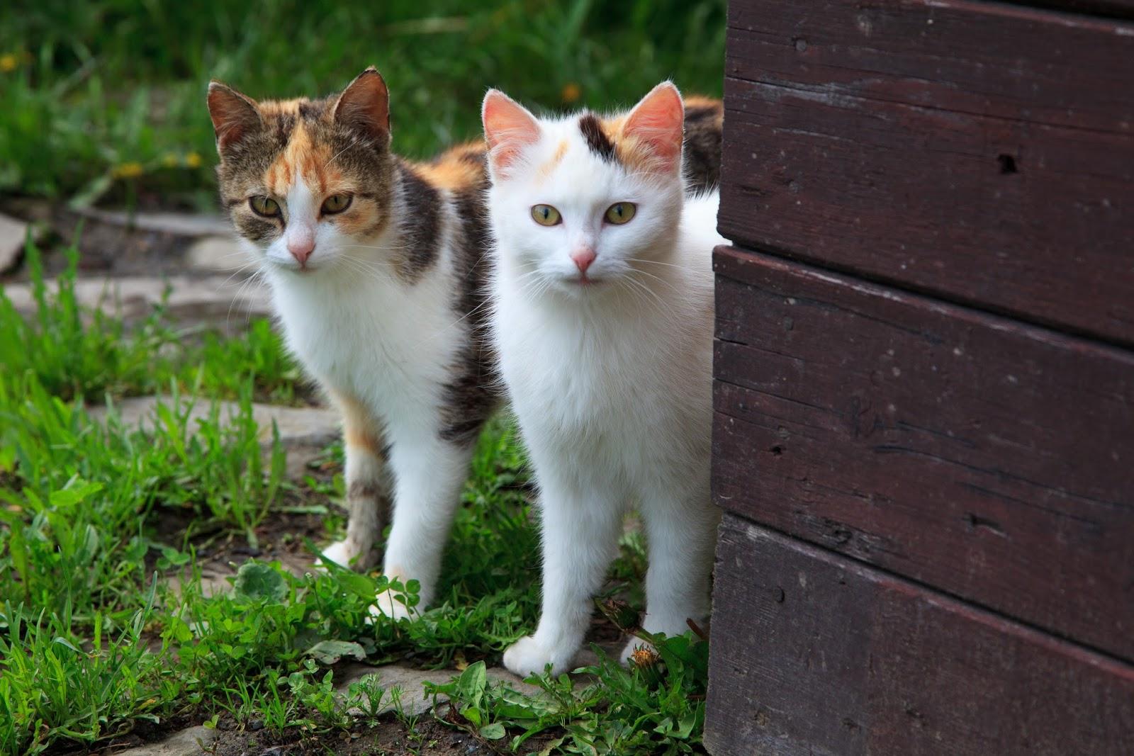 Pisici cuplu