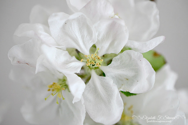 Apple Blossoms Photo by @elizafaye57