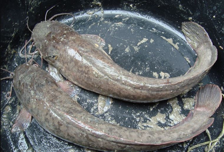 Mengatasi Ikan Lele Yang Tidak Mau Makan Kailbayu