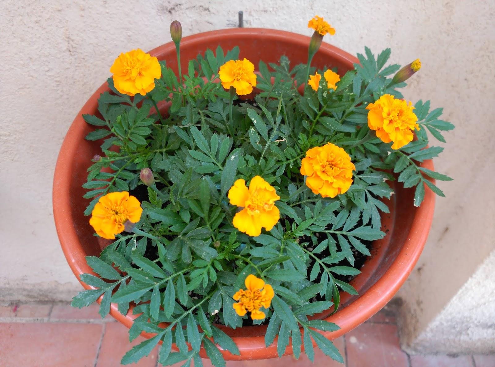 Huerto Casero de Quiquet: Tagetes de color naranja
