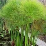 cyperus papyrus planta