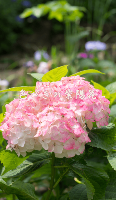 Hydrangea with color