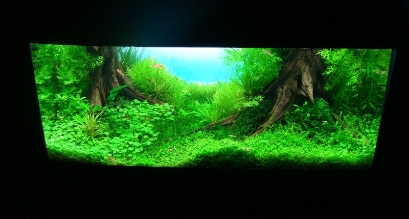 cây xương cá trồng hậu cảnh