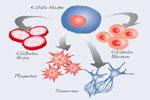 Células madre, generadoras de células específicas