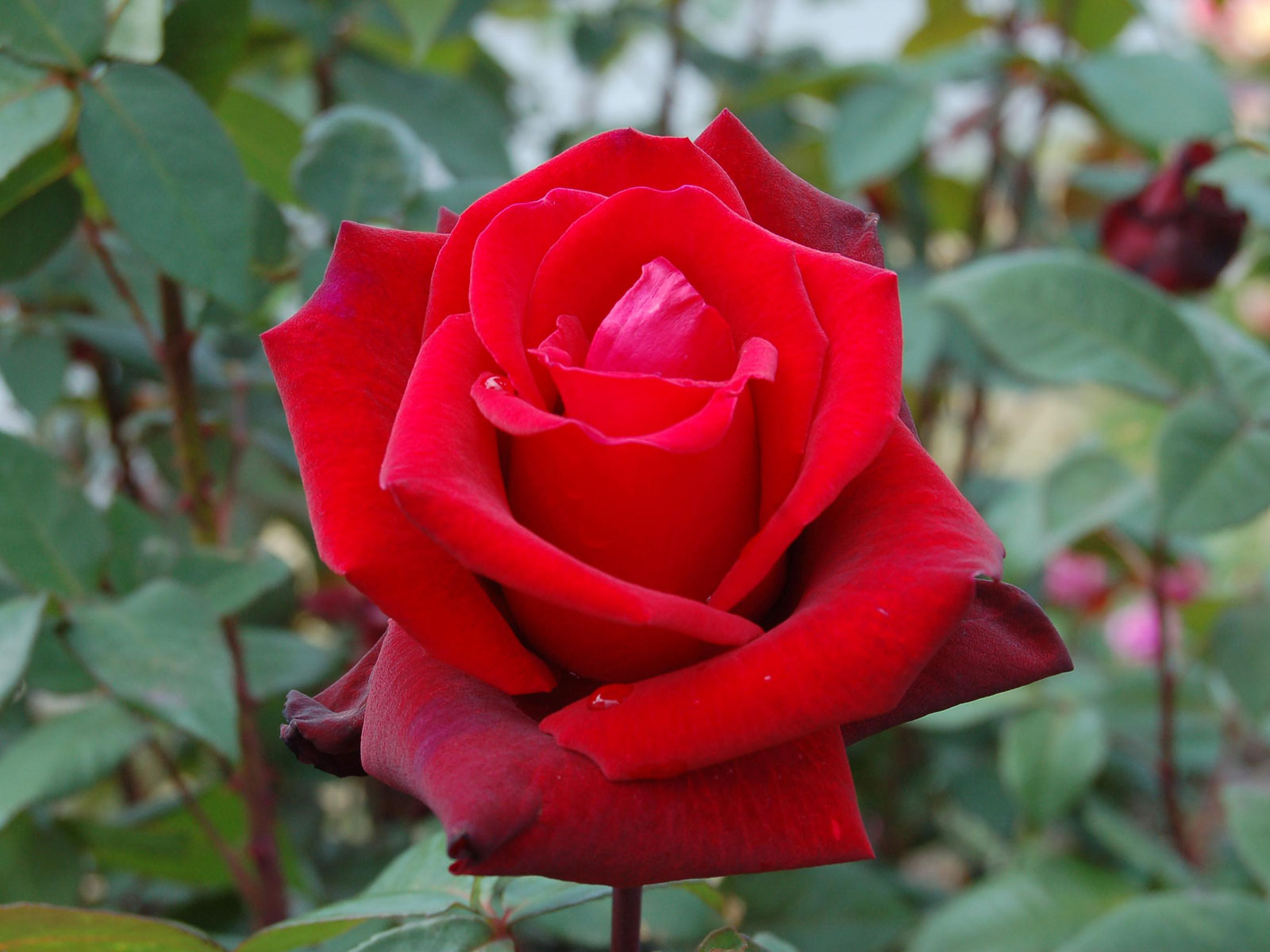 amazingwallpaper: RED ROSE FOR YOU ABD BEST FRIEND