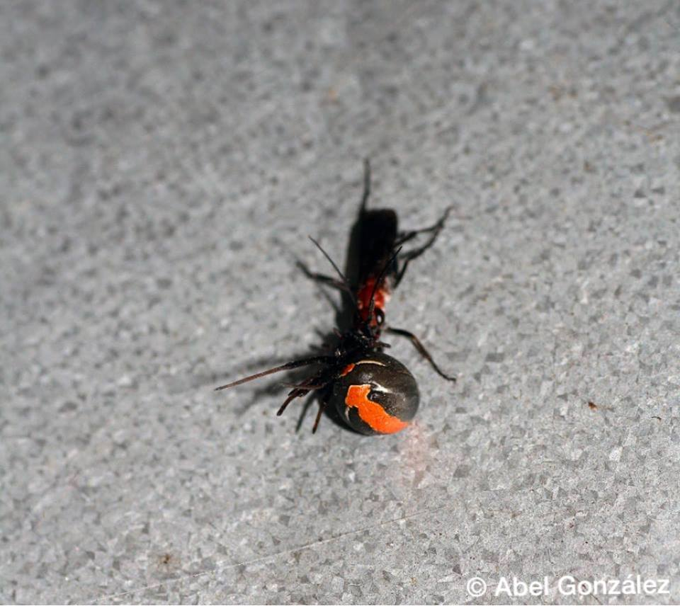 Black Flower Wasp From Australia: Bug Eric: Tiny Wasp Hero Slays Redback Spiders In Australia