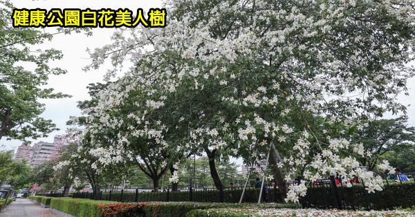 台中南區|健康公園|難得一見的白花美人樹|白色美人花盛開