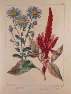 Plate 7: Aster Amellus and Amaraanthus Hpochondroacus