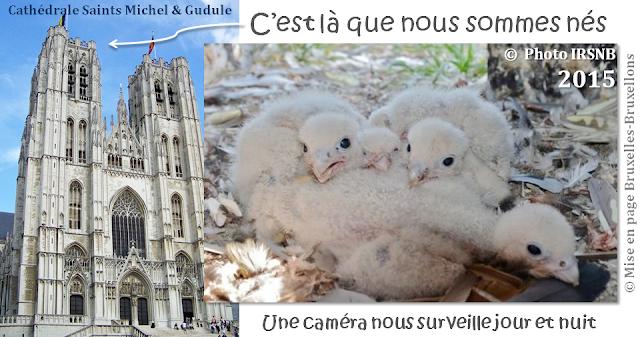 Faucons pèlerins à Bruxelles - Naissance de fauconneaux à la cathédrale Saints Michel & Gudule - Bruxelles-Bruxellons