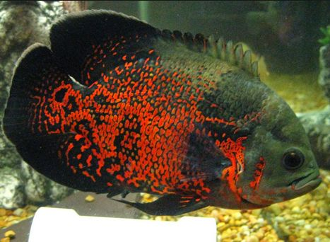 Jenis Ikan Hias Yang Tidak Boleh Dicampur Dalam Satu Wadah