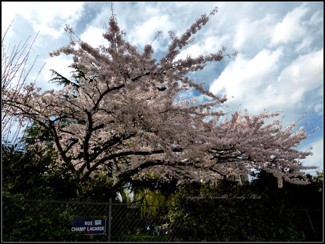 Printemps à Versailles arbre en fleurs