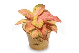 Jenis Bunga Aglaonema Dengan Harga Termahal