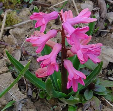 Blumensprache: Hyazinthe