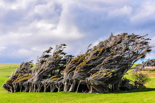 Slope point trees, New Zealand