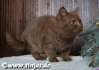 Katzenbaby cinnamon Britisch Kurzhaar tinjas