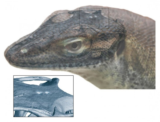 An extinct monitor lizard that had pineal and parapineal organs
