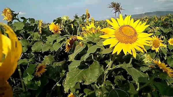 bunga matahari bermekaran