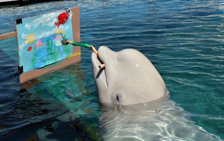 Beluga whales pictures - photo#50