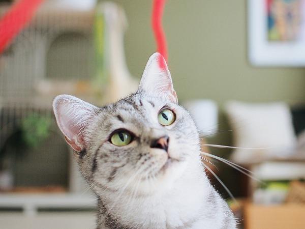 垂らした赤い毛糸を見つめるサバトラ猫