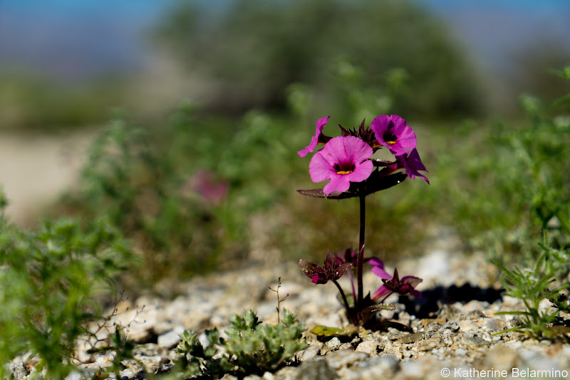 Bigelow's Monkeyflower Southern California Anza-Borrego Desert Wildflowers
