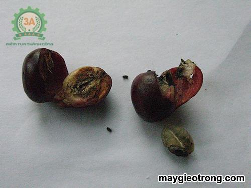 Sâu bệnh hại cà phê và biện pháp khắc phục: Mọt đục quả cà phê