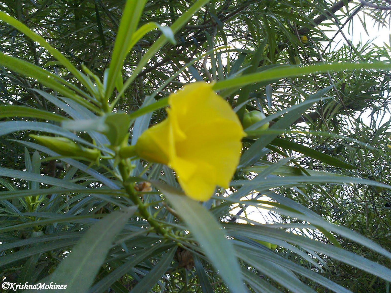 Oleander kaner mightylinksfo