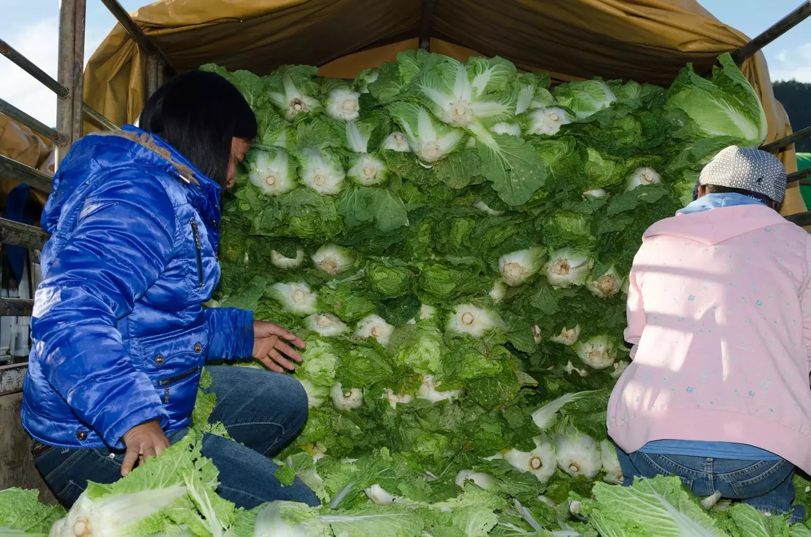 Vegetable Workers Lettuce Sorters Loaders Trading Post La Trinidad Benguet Cordillera Administrative Region Philippines