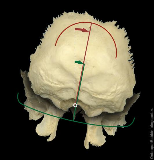 паттерне латерофлексия с ротацией происходит вращение (показано стрелками) клиновидной (отмечена зеленым цветом) и затылочной (отмечена красным цветом) костей в одну сторону по оси назион-опистион (белый круг)