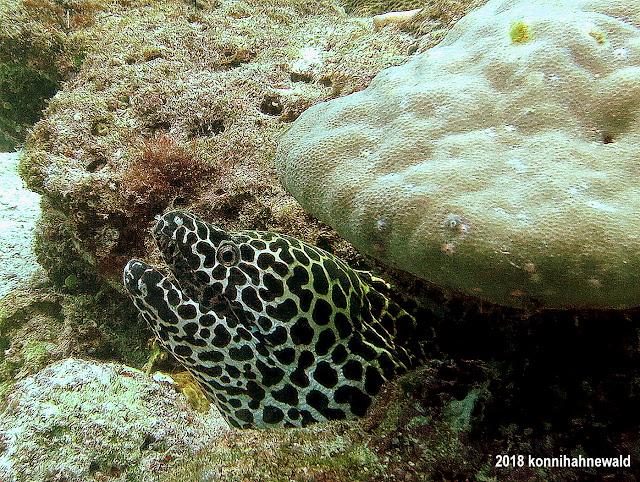 konniahahnewald, uw photography, spotted moray, andaman sea, pulau weh, iboih beach, sabang, indonesia, sumatra