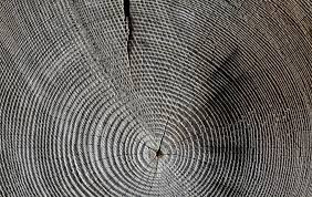 Counting annual rings used to find the age of a tree.