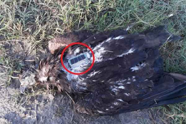 faridabad-bhanakpur-village-dead-eagle-found-with-chip-police-investigation