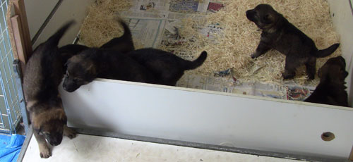 The 3 week old german shepherd puppies finding their way out of the whelping box